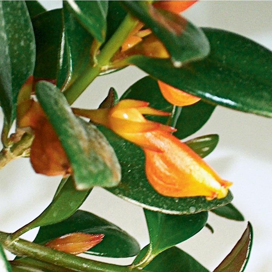 1.65-Quart Goldfish Plant (LTL0076)
