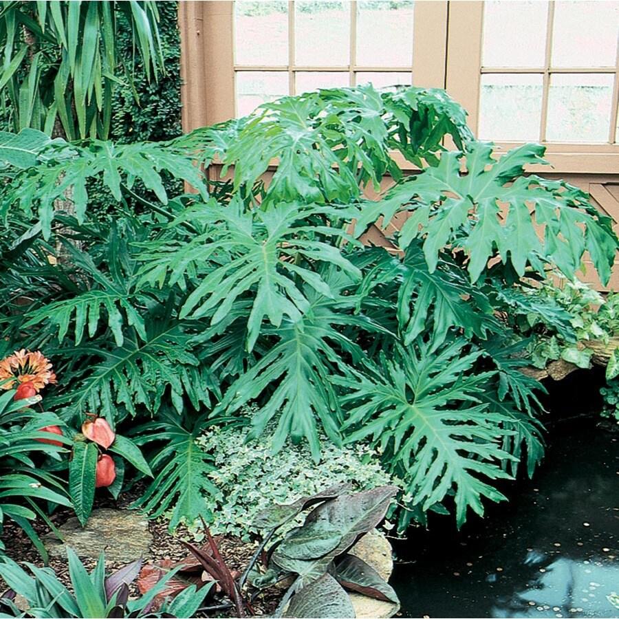 1.65-Quart Philodendron (L3284HP)