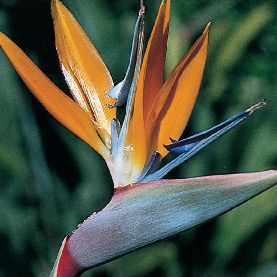 3.5-Quart Mixed Bird of Paradise Flowering Shrub (L3068)