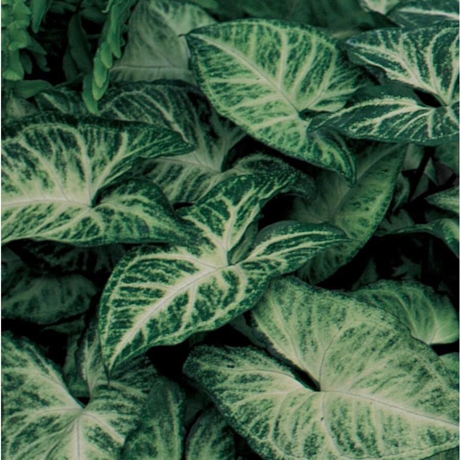 3.2-Quart Arrowhead Plant (LW01508)