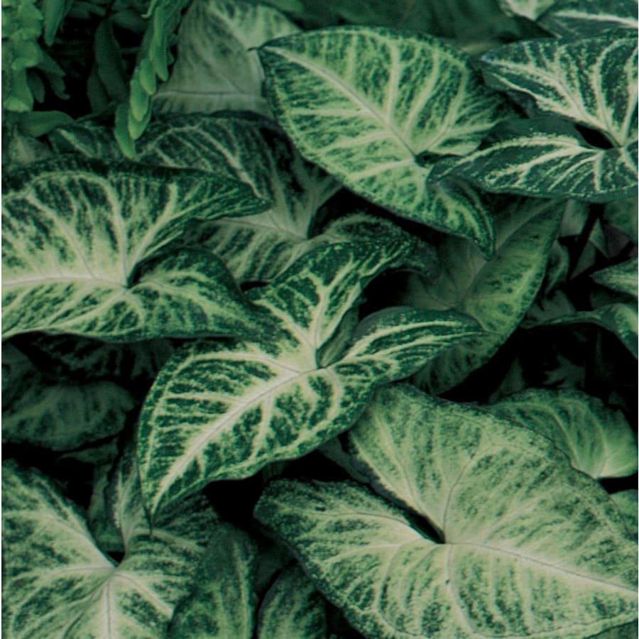 3.5-Quart Arrowhead Plant (LW01508)