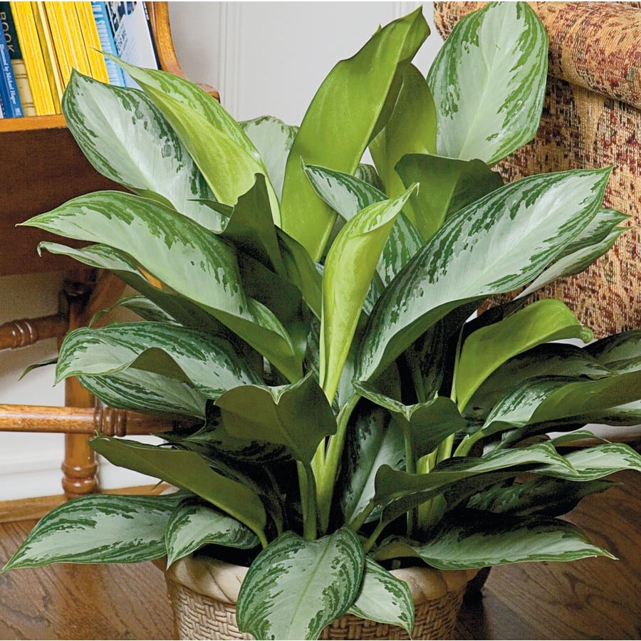 1.95-Gallon Aglaonema (L20910HP)