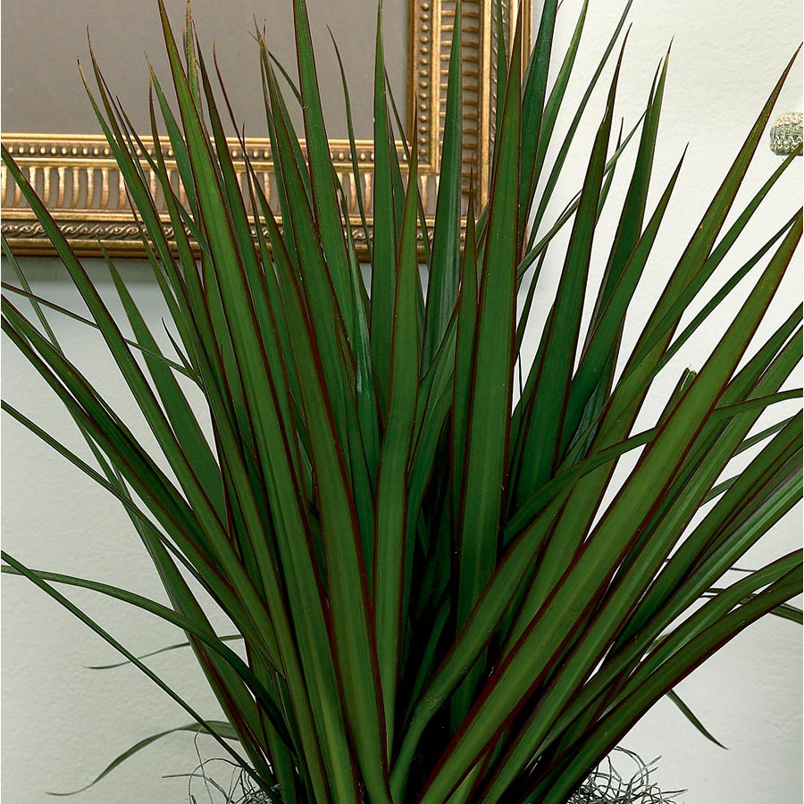 1.95-Gallon Dracaena Marginata (L20958HP)