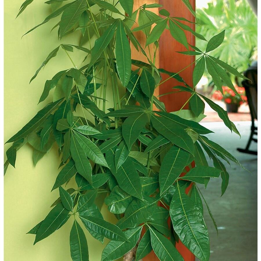 1.95-Gallon Pachira Money Tree (L20962HP)