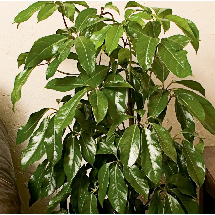 1.95-Gallon Amate Schefflera (L20974HP)