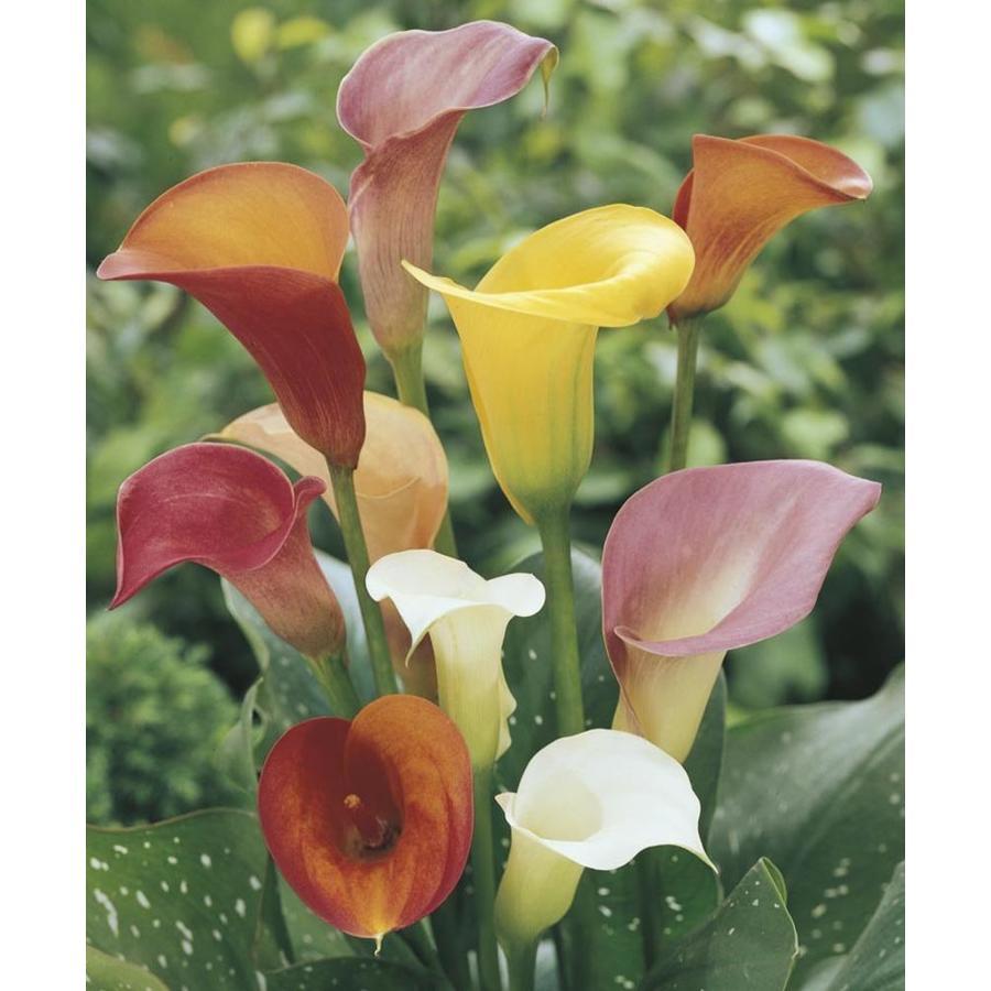 2.9-Quart Calla Lily (LW00678)