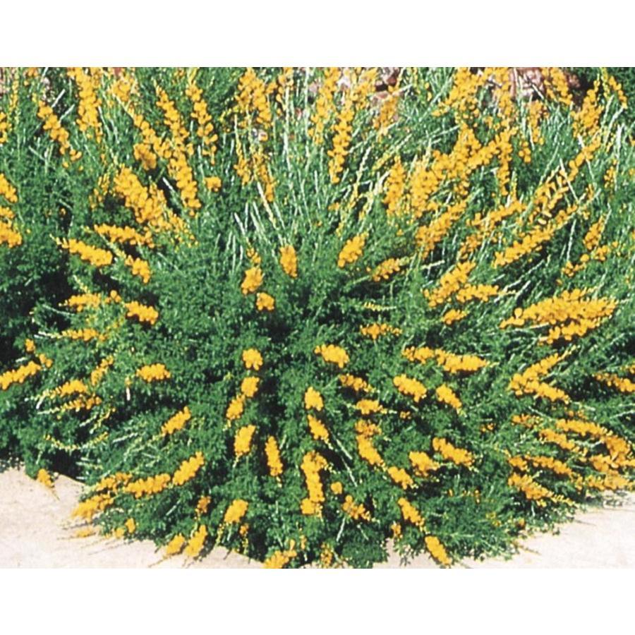 2.9-Quart Orange Sweet Broom Accent Shrub (L3064)