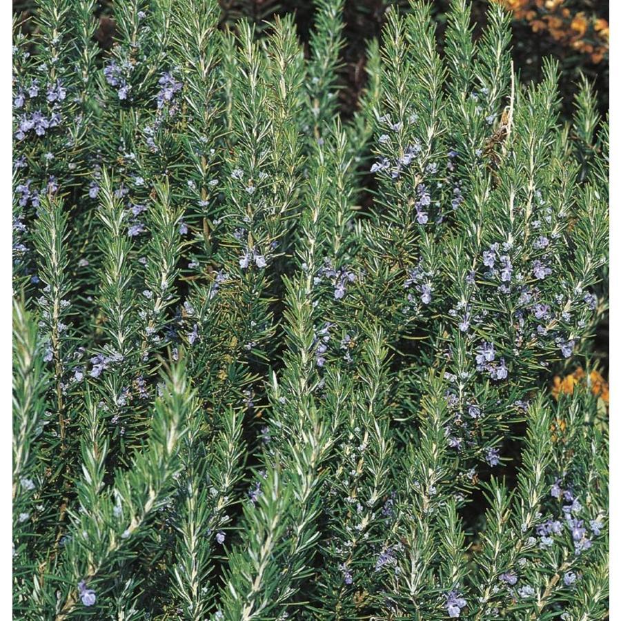 2.9-Quart Blue Rosemary Accent Shrub (L7037)