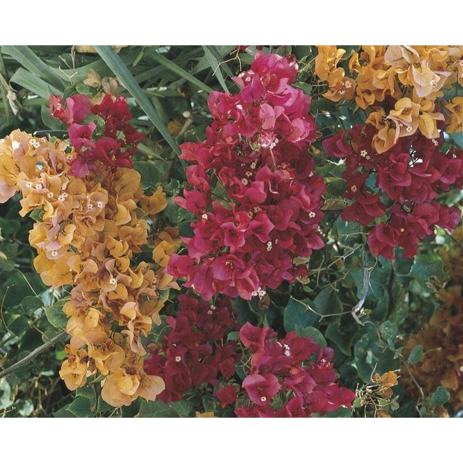 2.9-Quart Mixed Hybrid Bougainvillea Flowering Shrub (L5710)