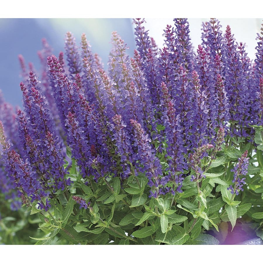2.99-Quart Sensation Deep Blue Salvia (L21087)