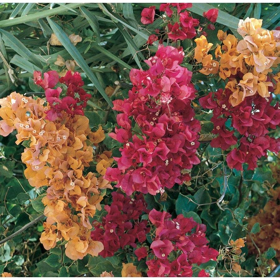 1.2-Gallon Mixed Hybrid Bougainvillea Flowering Shrub (L5710)