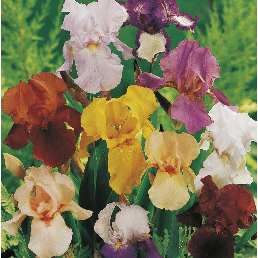 1.5-Gallon Bearded Iris (L15935)