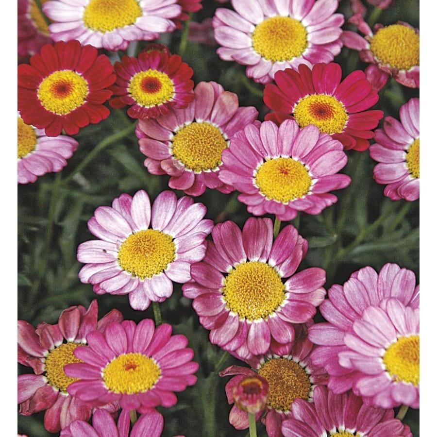 2.5-Quart Marguerite Daisy (LW00222)