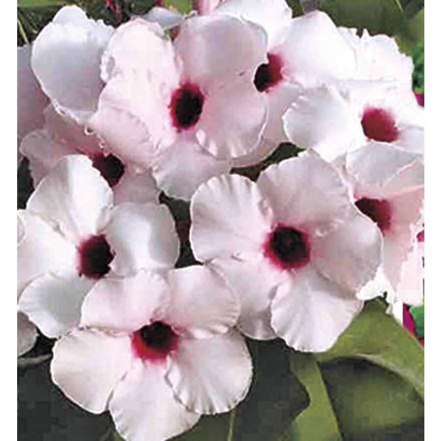 2.5-Quart Bicolor Desert Rose (L11232)