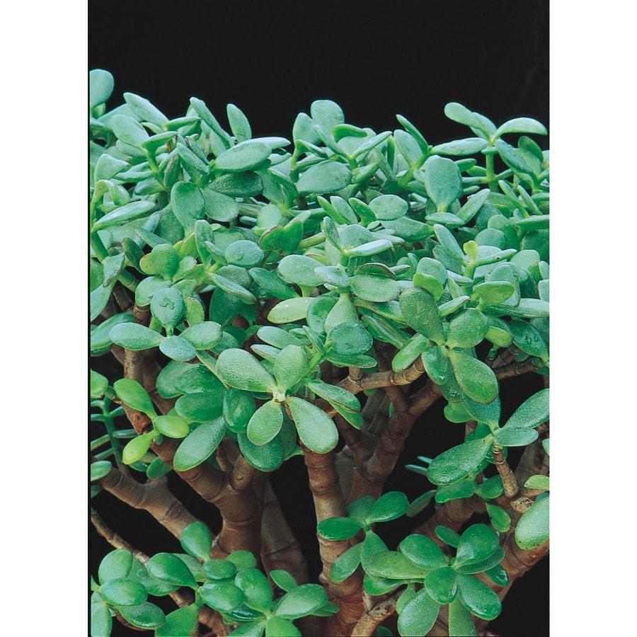 Pink Jade Plant Shrub (LW03223)