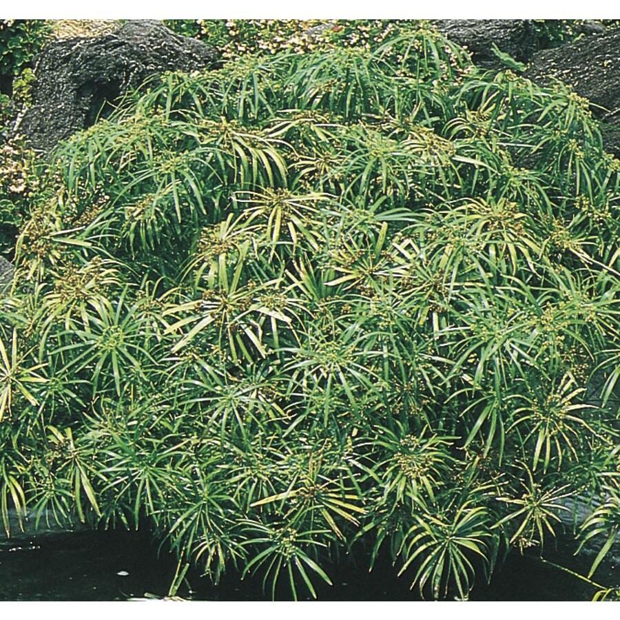 3.5 Gallon Umbrella Plant (L11711)