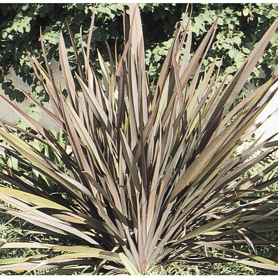 3.5-Gallon New Zealand Flax (L11837)