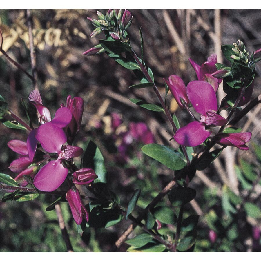 2.5-Quart Purple Sweet Pea Bush Flowering Shrub (L7149)