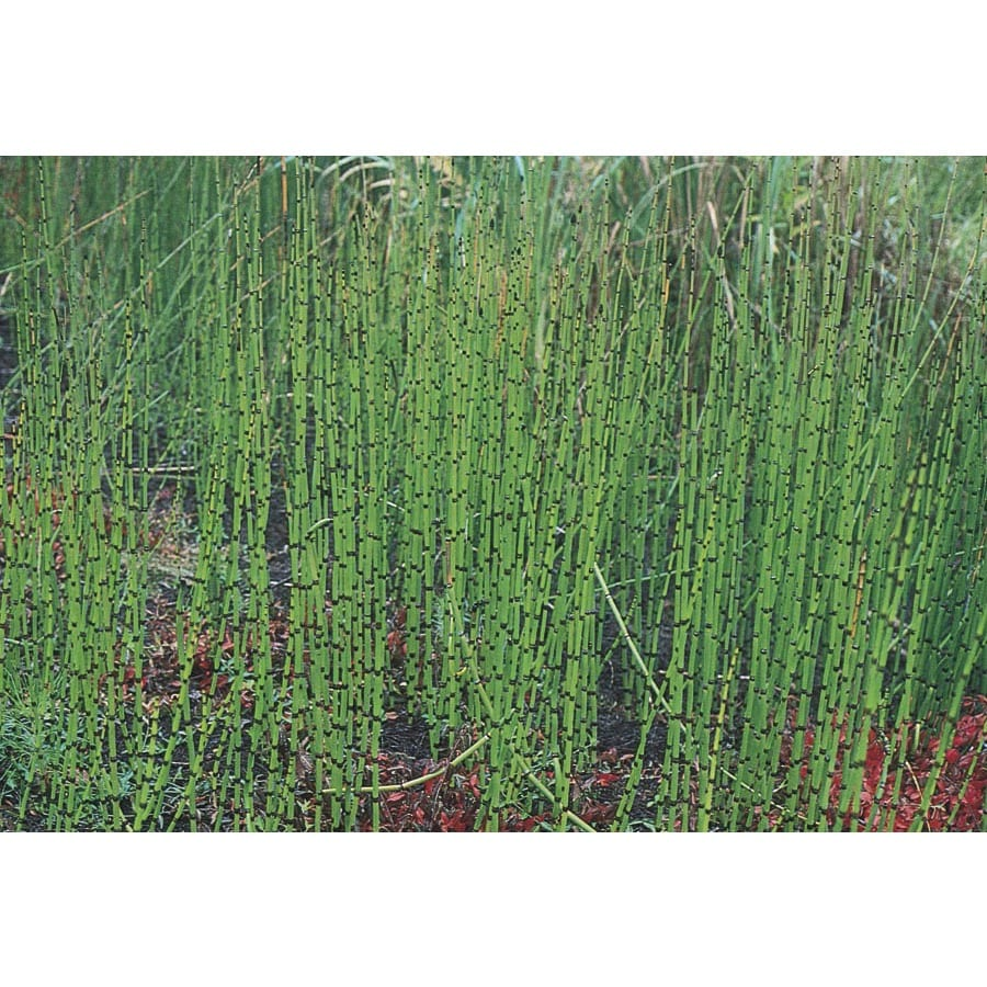 325 Gallon Horsetail Reed L7517 At Lowescom