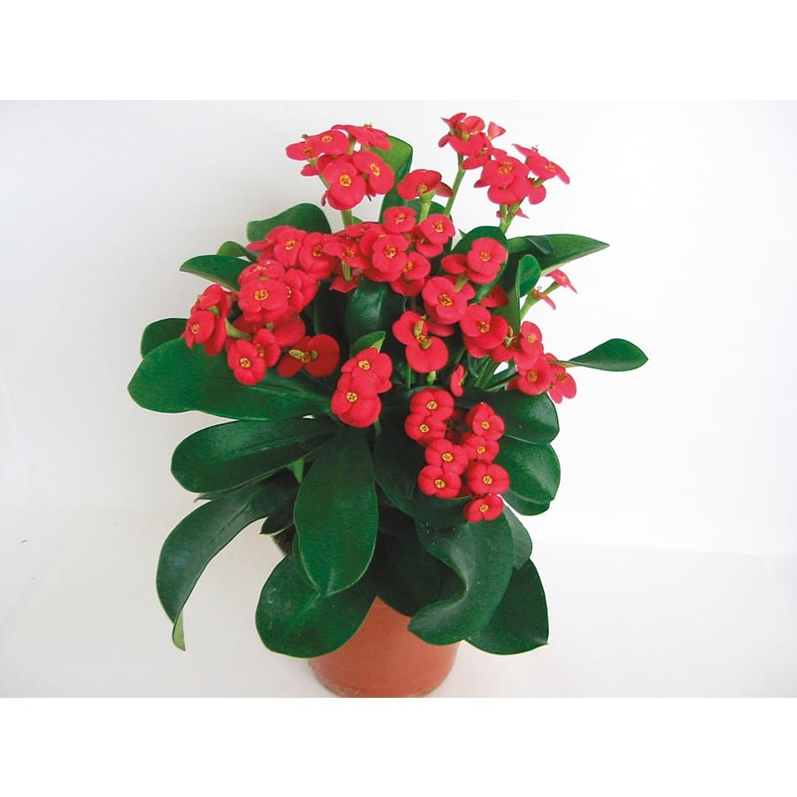 3.5-Gallon Red Thai Crown of Thorns Flowering Shrub (L17333)