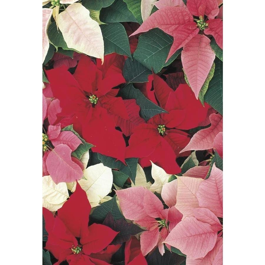 2-Quart Poinsettia (L17756hp)
