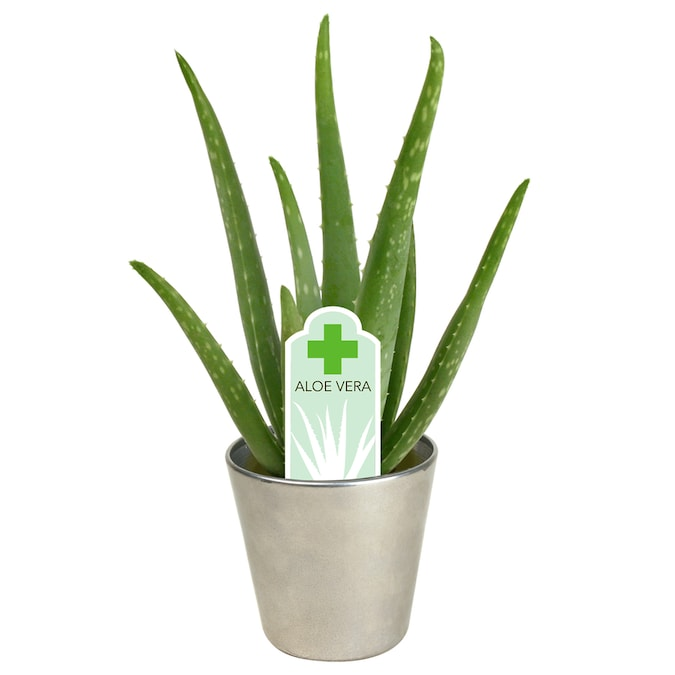 11 Oz Aloe In Planter In The Succulents Department At Lowes Com