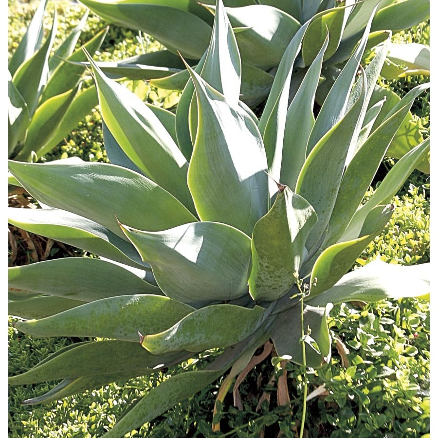 3.5-Gallon Dragon Tree Agave (Lb21152)