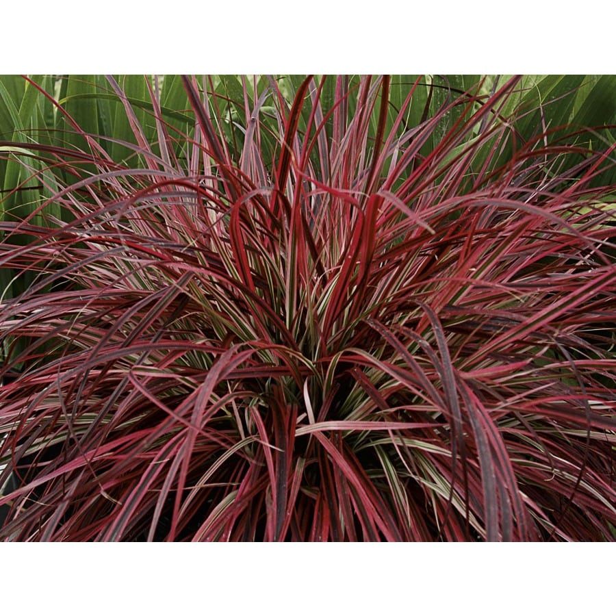 Shop 3 5 gallon fireworks fountain grass lw03464 at for Fountain grass
