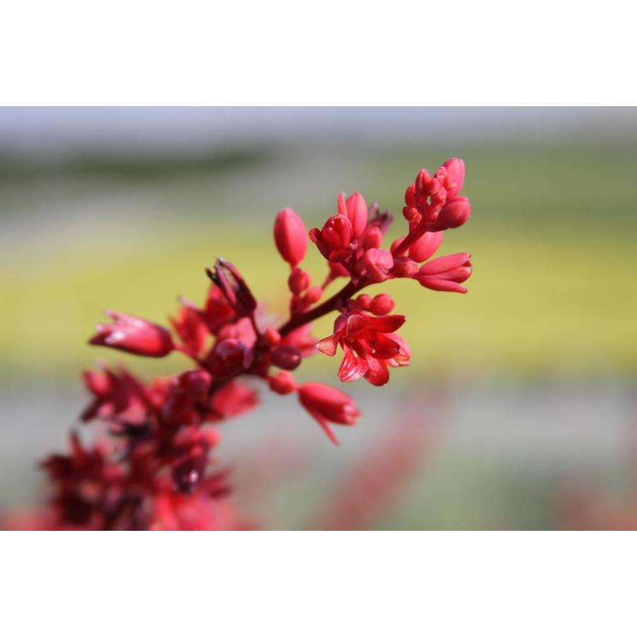 3.5-Gallon Red Yucca Feature Shrub (L7029)