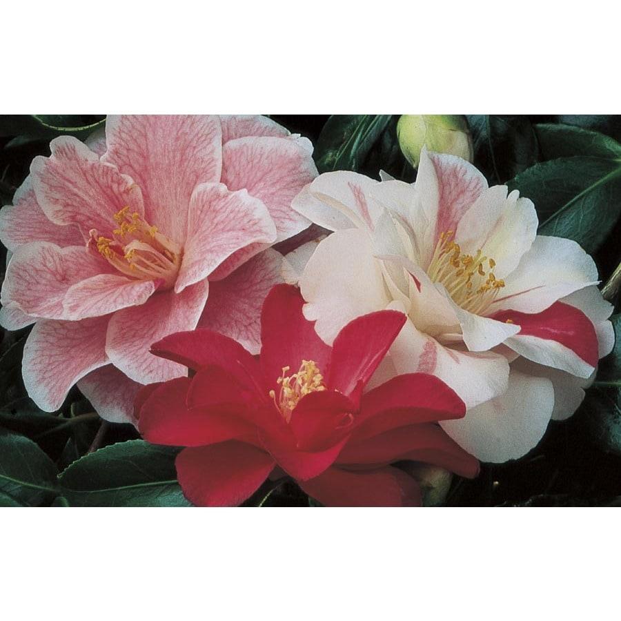3.5-Gallon Varies Sasanqua Camellia Flowering Shrub (L5699)