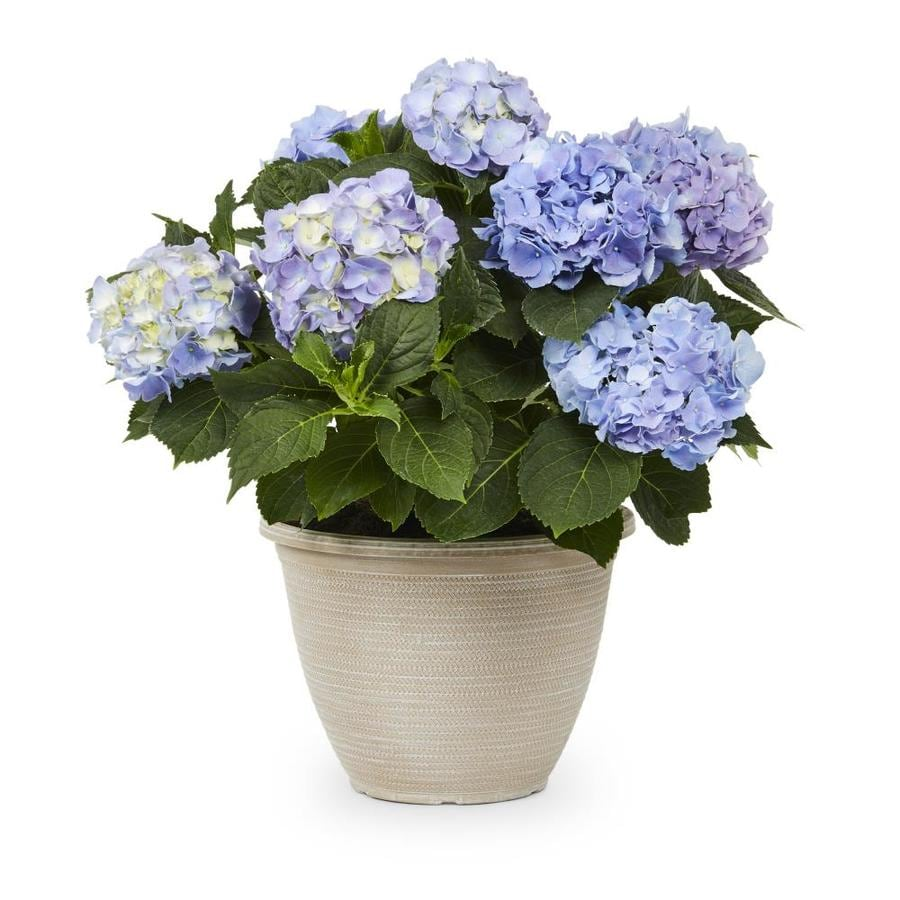 2.5-Gallon Mixed Hydrangea Flowering Shrub (L6357)