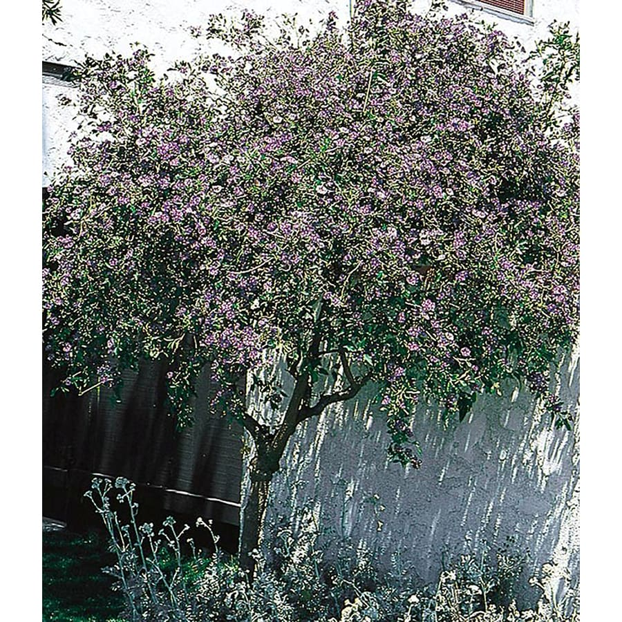 2.5-Gallon Blue Potato Bush Flowering Shrub (L3087)