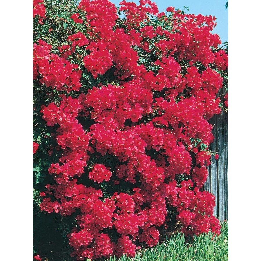 3.25-Gallon Mixed Bougainvillea Bush Flowering Shrub (L10024)