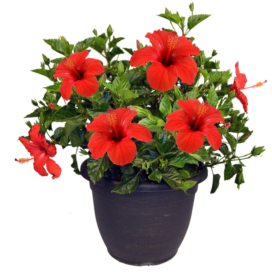 Mixed Hibiscus Shrub In (L3026) At Lowes.com