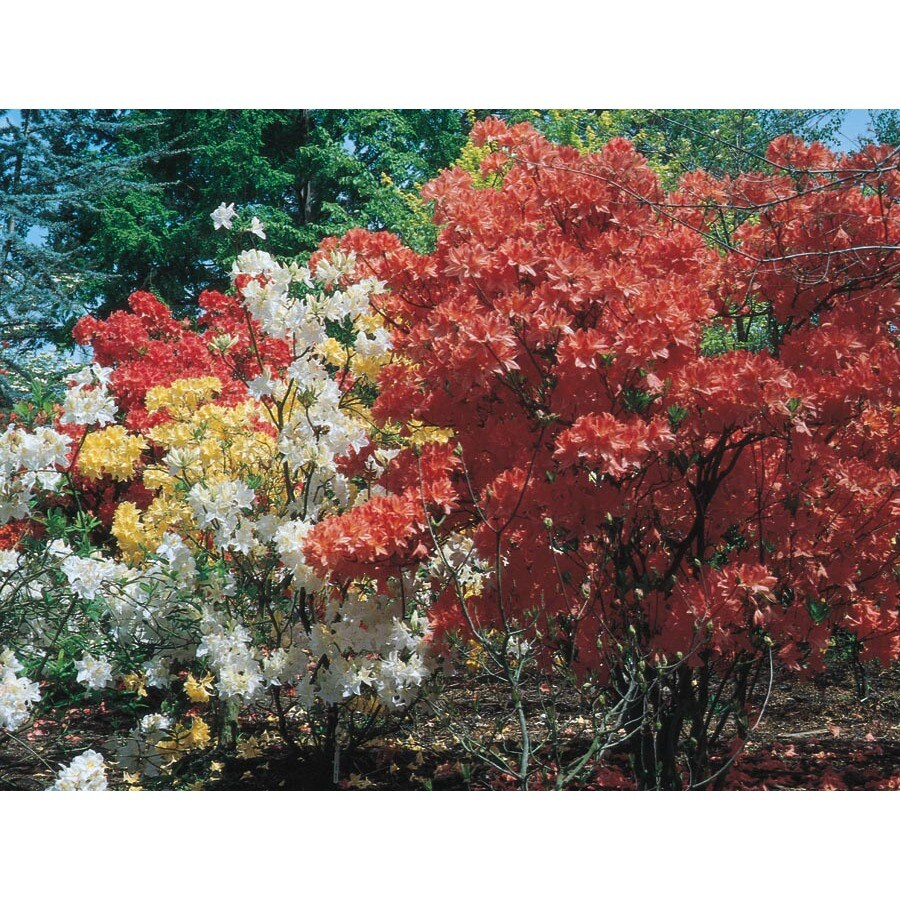 1-Quart Mixed Azalea Flowering Shrub (L5159)