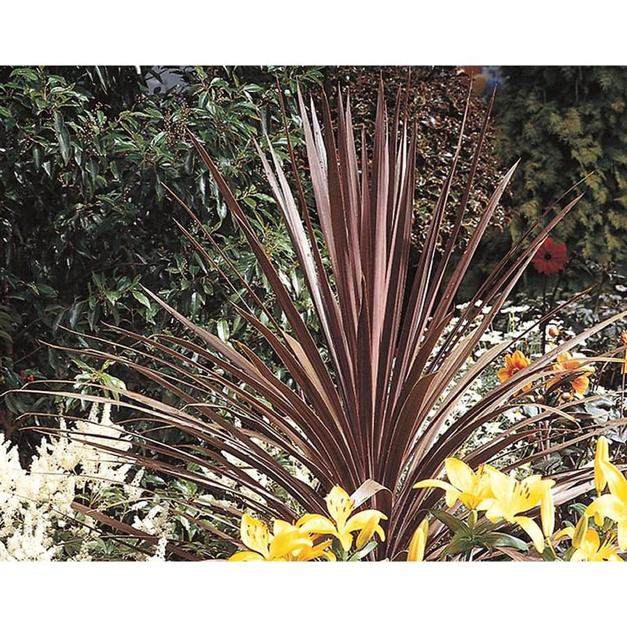 1-Quart Red Sensation Cordyline (L00370)