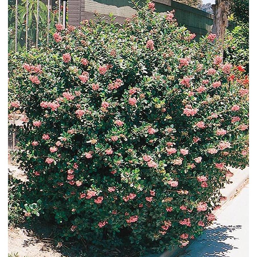 1-Quart Mixed Escallonia Flowering Shrub (L2913)