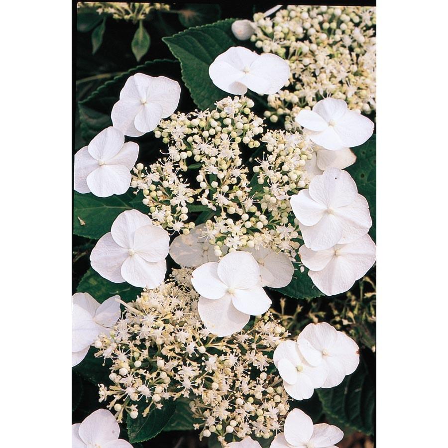 1-Quart White Lacecap Hydrangea Flowering Shrub (L14573)
