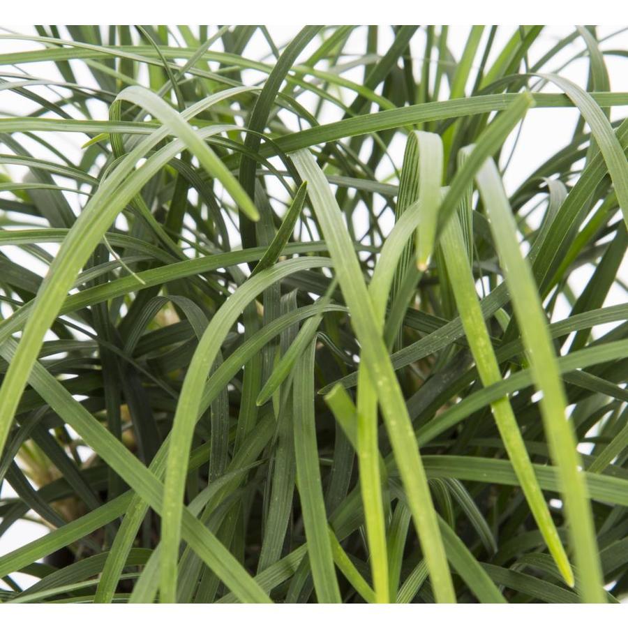 1-Quart Mondo Grass Pot (L4050)