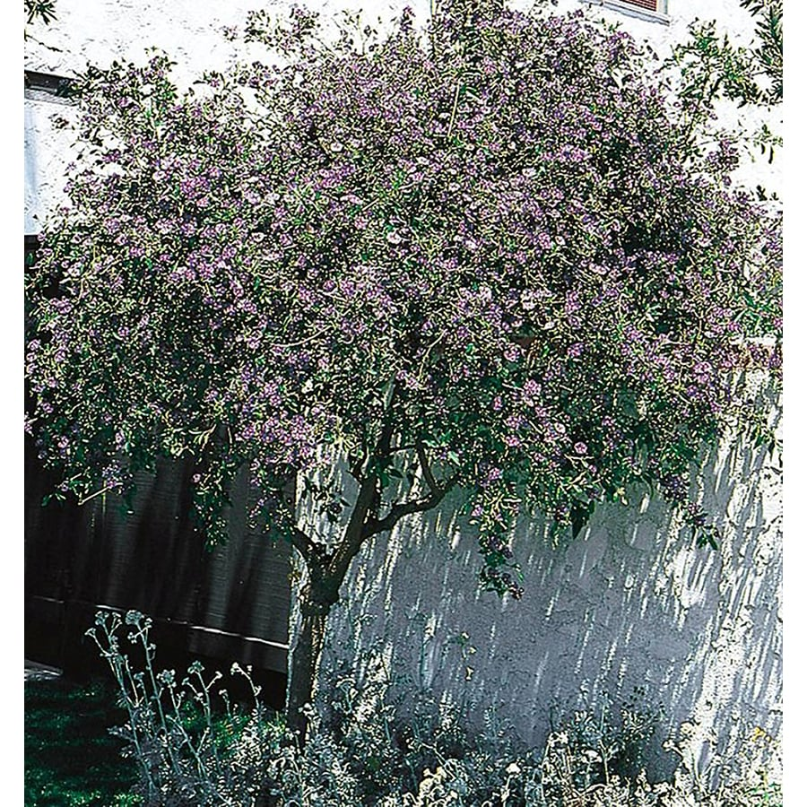 Shop 1 quart blue potato bush flowering shrub l3087 at lowes 1 quart blue potato bush flowering shrub l3087 izmirmasajfo