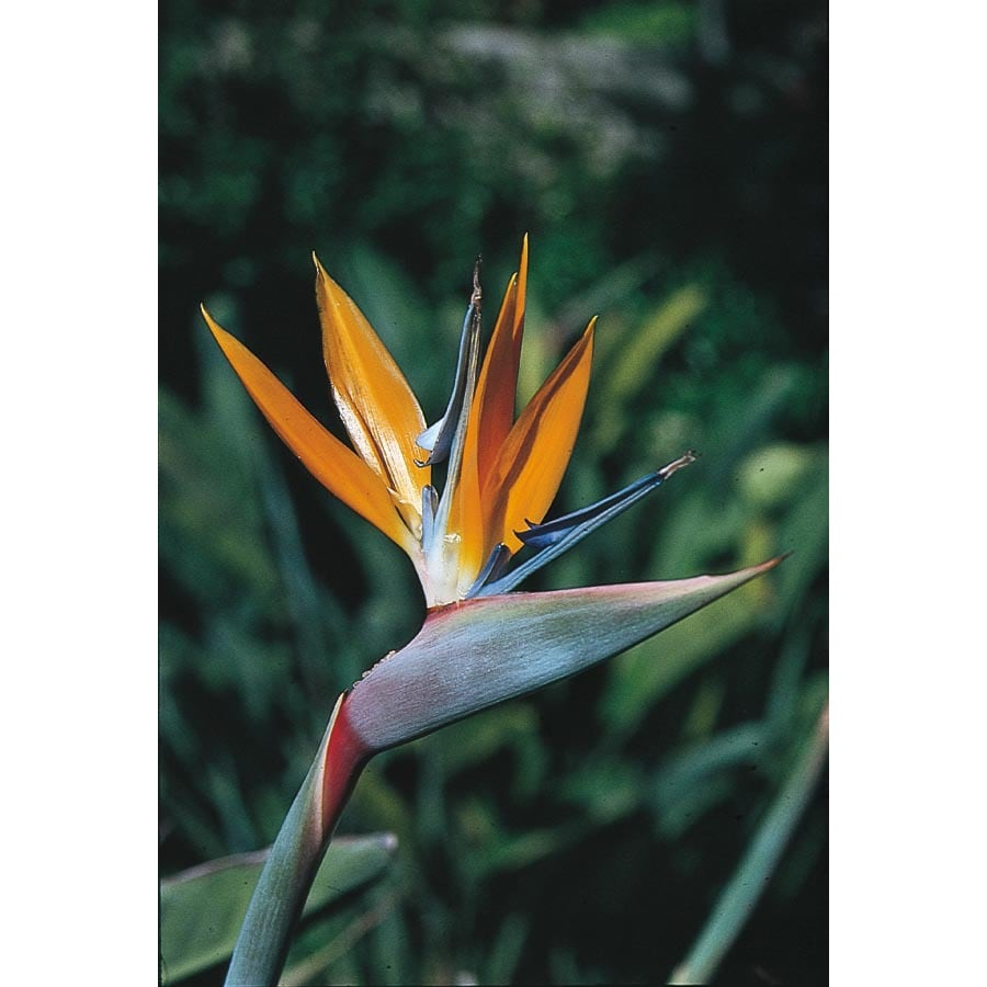 1-Quart Mixed Bird of Paradise Flowering Shrub (L3068)