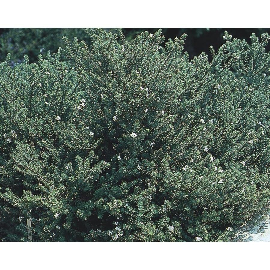 1-Quart White Westringia Flowering Shrub (L22814)