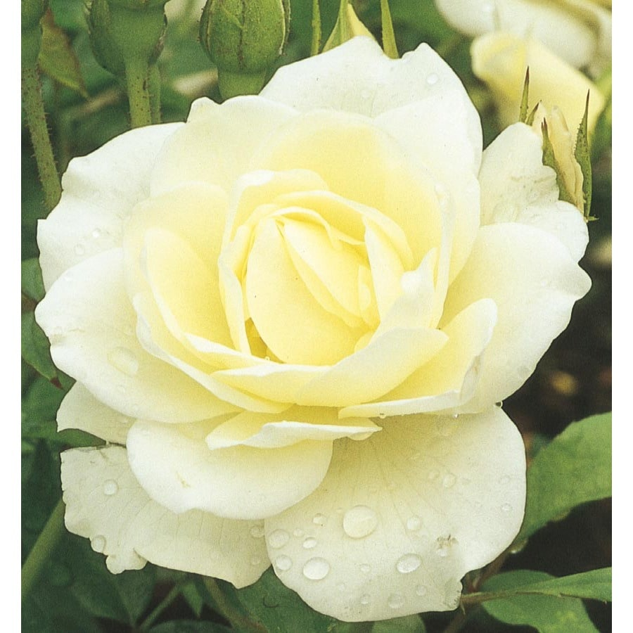 Shop 1 gallon iceberg rose l3699 at for Rosa iceberg
