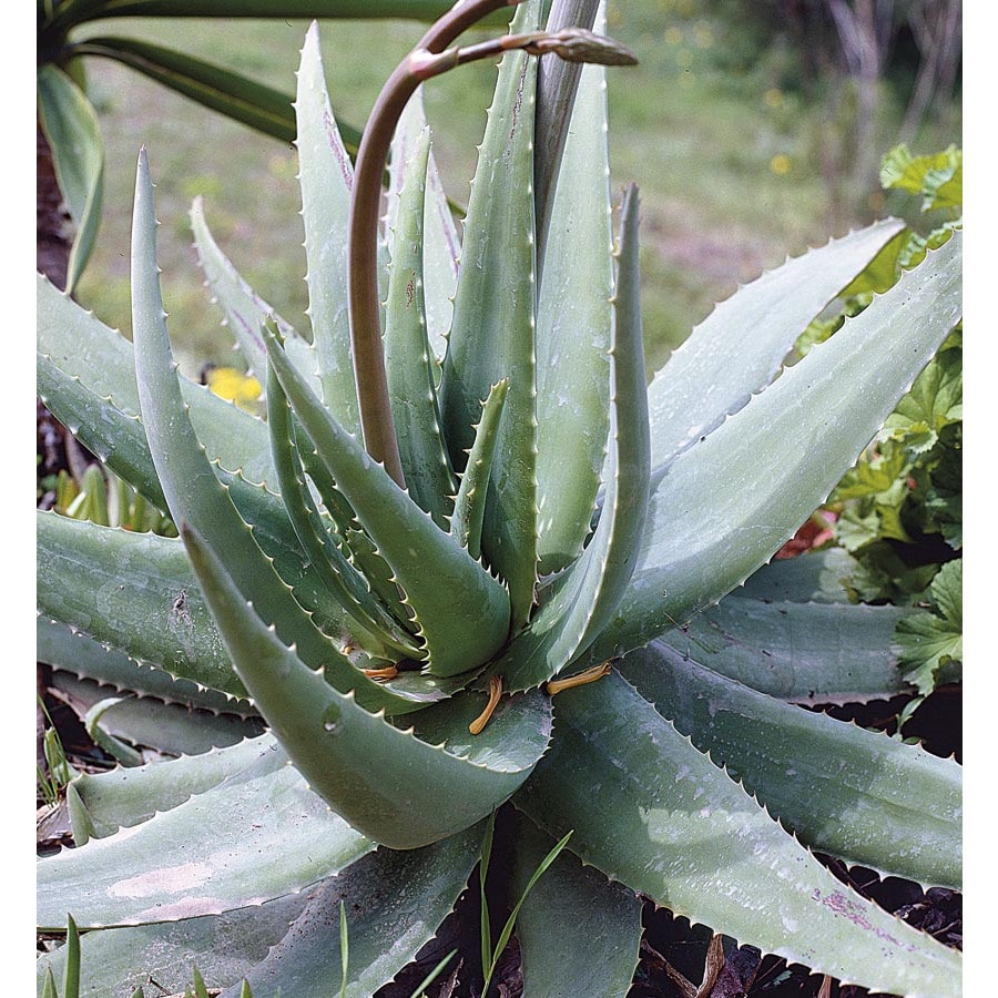 2.5-Quart Blue Elf Aloe (Lw04193)