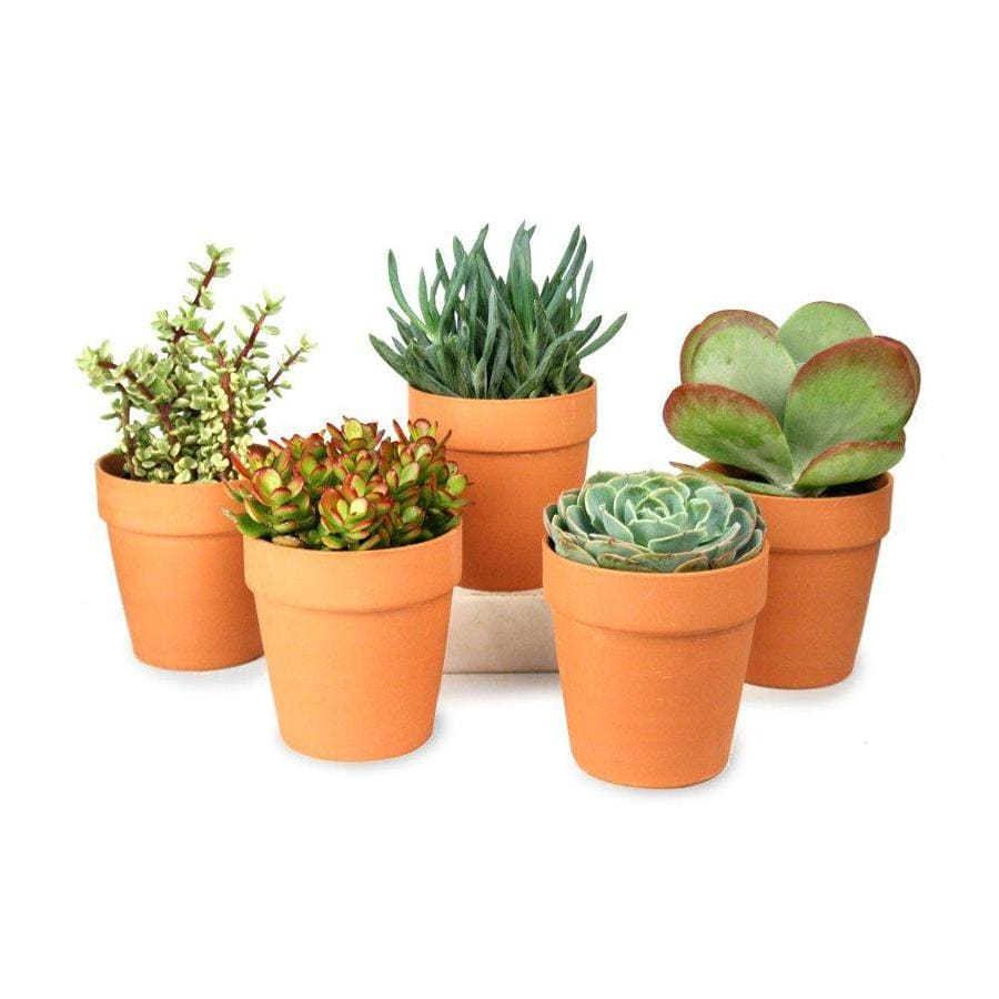1-Quart Mixed Cacti (AL001)