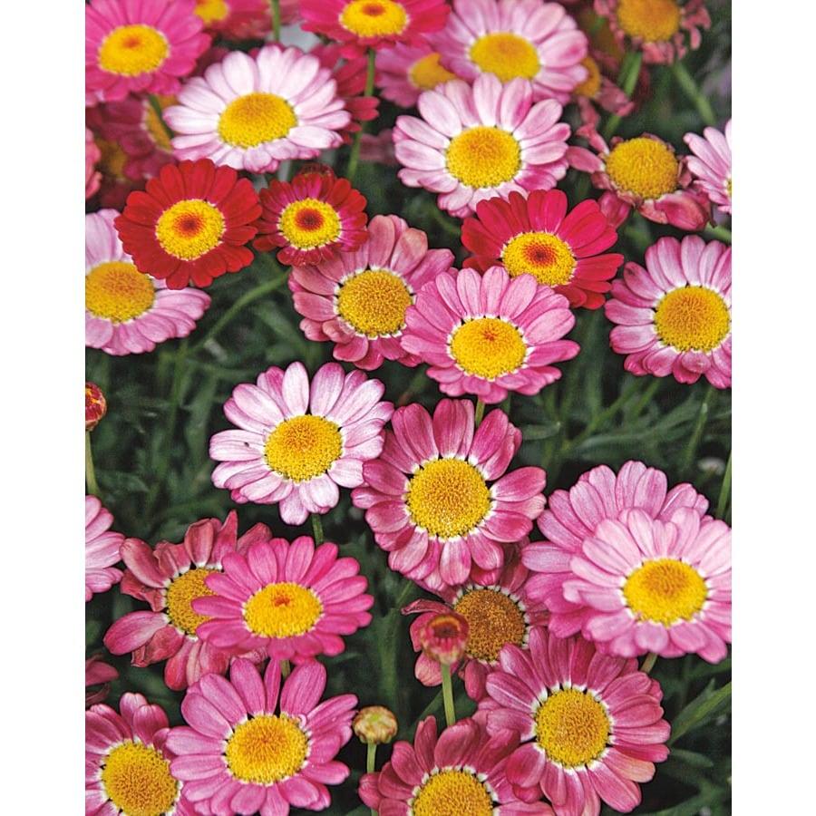 2.5-Gallon Marguerite Daisy (LW00222)