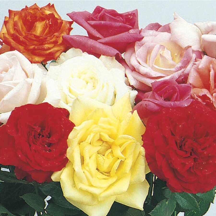2.5-Gallon Miniature Rose (L5965)