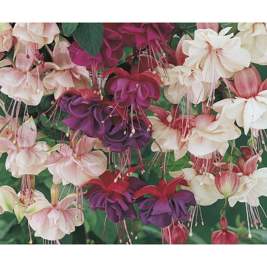 2.5-Gallon Fuchsia (L6592)