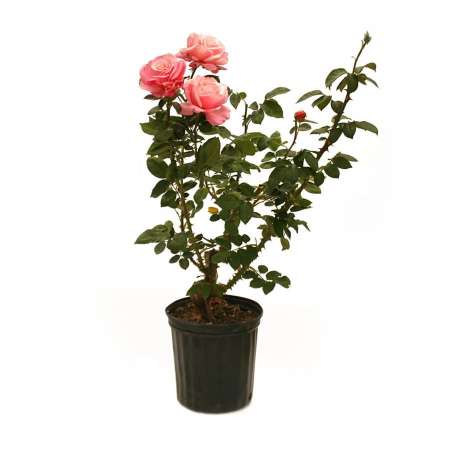 2.58-Gallon Bud and Bloom Rose (L10150)