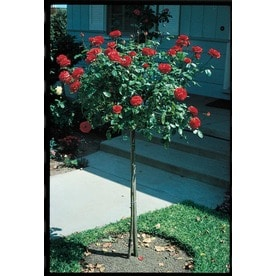 Mixed Orted Tree Roses Lw01114